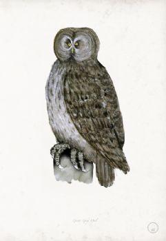 Great Grey Owl - artist signed print